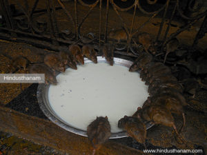 Rats in Karni Mata Temple Deshnok